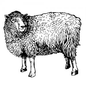 Lamb & Hogget - Drycreekmeats Online Butchery
